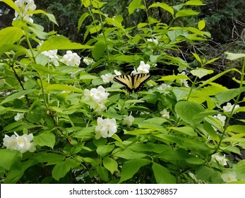 "A male Eastern Tiger Swallowtail butterfly drinking nectar from a blooming Philadelphus ""Mock Orange"" bush. Papilio glaucus, North American pollinator."
