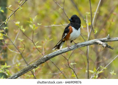 Male Eastern Towhee perched on a branch.