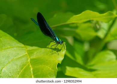 Male Ebony Jewelwing Damselfly perched on a leaf. Also known as the Black-winged Damselfly. Edwards Gardens, Toronto, Ontario, Canada.
