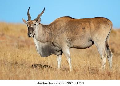 Male eland antelope (Tragelaphus oryx) feeding in grassland, Mountain Zebra National Park, South Africa