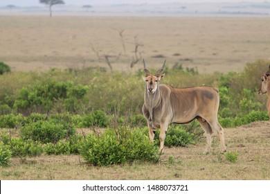 Male eland, Masai Mara National Park, Kenya.