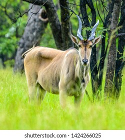 male Eland in the rain on the edge of a forest area within Malawi