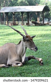A male eland (Taurotragus oryx) from Africa is sitting on the grass