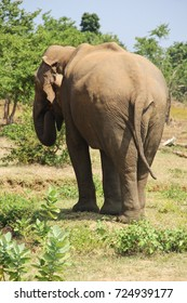 Male elephant eating in Udawalawe National Park, Sri Lanka