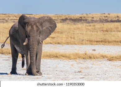 A male elephant ( Loxodonta Africana) showing his dominance, an aggressive bull in musth , Etosha National Park, Namibia.