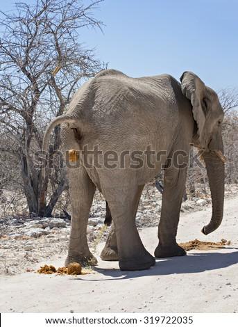 Male elephant (Loxodonta africana) urinating and defecating in Etosha National Park, Namibia.