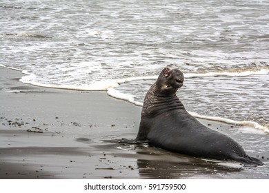 Male Elephant Seal Barks at Piedras Blancas rookery, Near San Simeon, CA