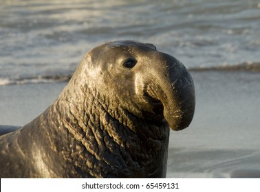 Male Elephant Seal on Beach in San Simeon