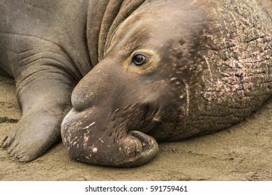 Male Elephant Seal resting on the beach, Piedras Blancas rookery, Near San Simeon, CA