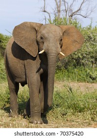 Male elephant standing tall and flaring his ears open