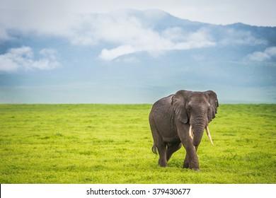 Male Elephant Walking in Ngorongoro Crater