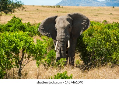 Male Elephant wonder around by itself at Maasai Mara National Reserve