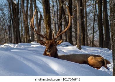 Male Elk aka Wapiti enjoying the late afternoon sunshine