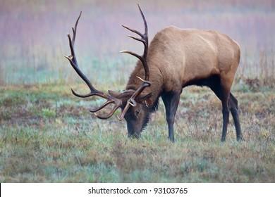 Male Elk eating morning dew grass