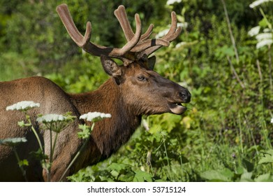 A male elk eats greenery amongst the foothills of Northern California