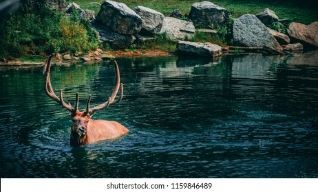 Male elk fording through the water