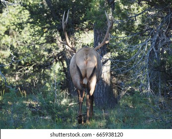 Male Elk in Grand Canyon National Park.