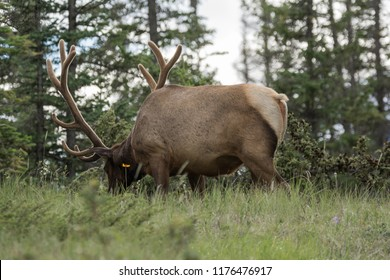 Male Elk with huge antlers is eating grass along the road at Jasper National Park Alberta Canada