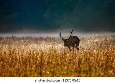 Male elk with huge rack of antlers walks through tall autumn grass at sunrise