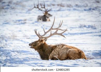 Male Elk, National Elk Refuge, Jackson Hole, Wyoming