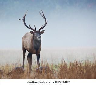 Male elk in Smokey mountains in Autumn