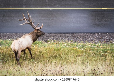 male elk standing next to a road looking at traffic