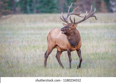 Male Elk or Wapiti (Cervus canadensis) is calling in Jasper National Park. Alberta. Canada