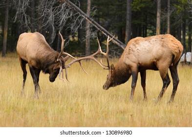Male Elk or Wapiti (Cervus canadensis) rutting in Banff National Park Alberta Canada