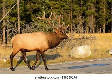 Male Elk or Wapiti (Cervus canadensis) crossing road in Banff National Park Alberta Canada