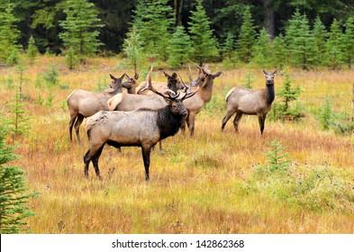 Male Elk or Wapiti (Cervus canadensis) near Cascade Pond in Banff National Park Alberta Canada