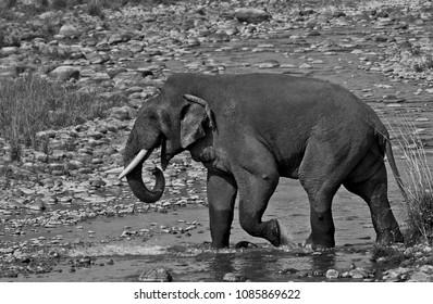 Male Elphant crossing river at Jim Corbett National Park