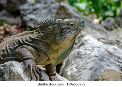 male endangered blue iguana only found on Cayman Islands