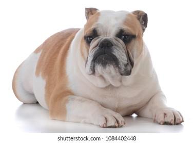 male english bulldog laying on white background