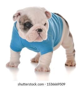 male English bulldog puppy isolated on white background