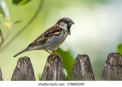 A male English sparrow perched on a fence