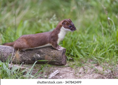 Male Ermine or Stoat, Mustela erminea