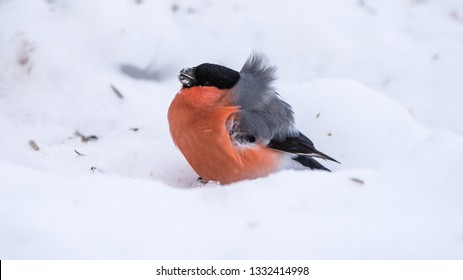 The male Eurasian Bullfinch (Pyrrhula pyrrhula) with his beautiful red breast and gray back searching for seeds on the snow a windy winter day.