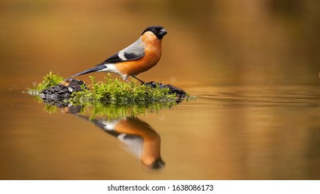 Male eurasian bullfinch, pyrrhula pyrrhula, sitting on a stump near water with its reflection mirrored on surface with copy space. Small colorful passerine bird drinking from pond.