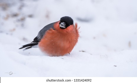 The male Eurasian Bullfinch (Pyrrhula_pyrrhula) with his beautiful red breast searching for seeds on the snow a blowy winter day.