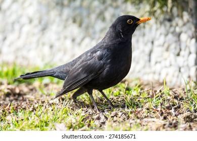 Male Eurasian common blackbird sitting on the ground