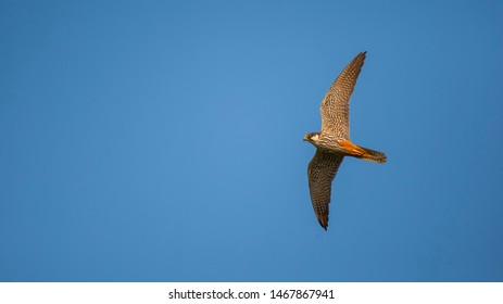Male Eurasian Hobby is flying in the pursuit of prey in the sky. Raptors in fly. Flying raptors.