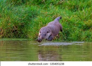 Male Eurasian Otter