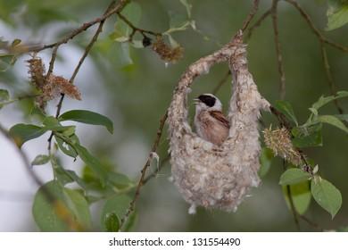 Male Eurasian Penduline Tit displaying at its nest