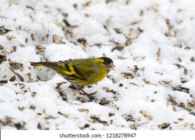 Male Eurasian siskin bird (Black-headed goldfinch) eating sunflower seeds on snow during winter in Europe (Spinus spinus)