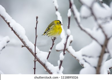 Male eurasian siskin bird sitting on the branch of a snow covered tree