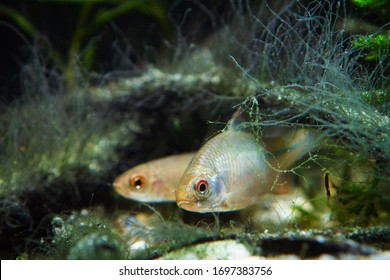 male of European bitterling and sunbleak, beautiful temperate adult fish watch attentively and hide in driftwood covered with algae, coldwater freshwater biotope aquarium