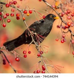 Male European Blackbird (Turdus merula) looking and feeding on berries in tree