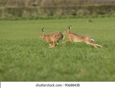 Male European brown hare (Lepus europaeus) chasing female