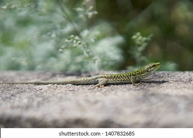 Male of European green lizard sunning in Sicily, Lacerta viridis, is a large lizard distributed across European midlatitudes. It is often seen sunning on rocks or lawns, or sheltering amongst bushes.