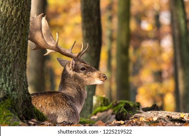 """Male fallow deer with antlers lying in park """"Obora Holedna"""" in Brno city on sunny autumn day in November, South Moravia, Czech republic, Europe."""